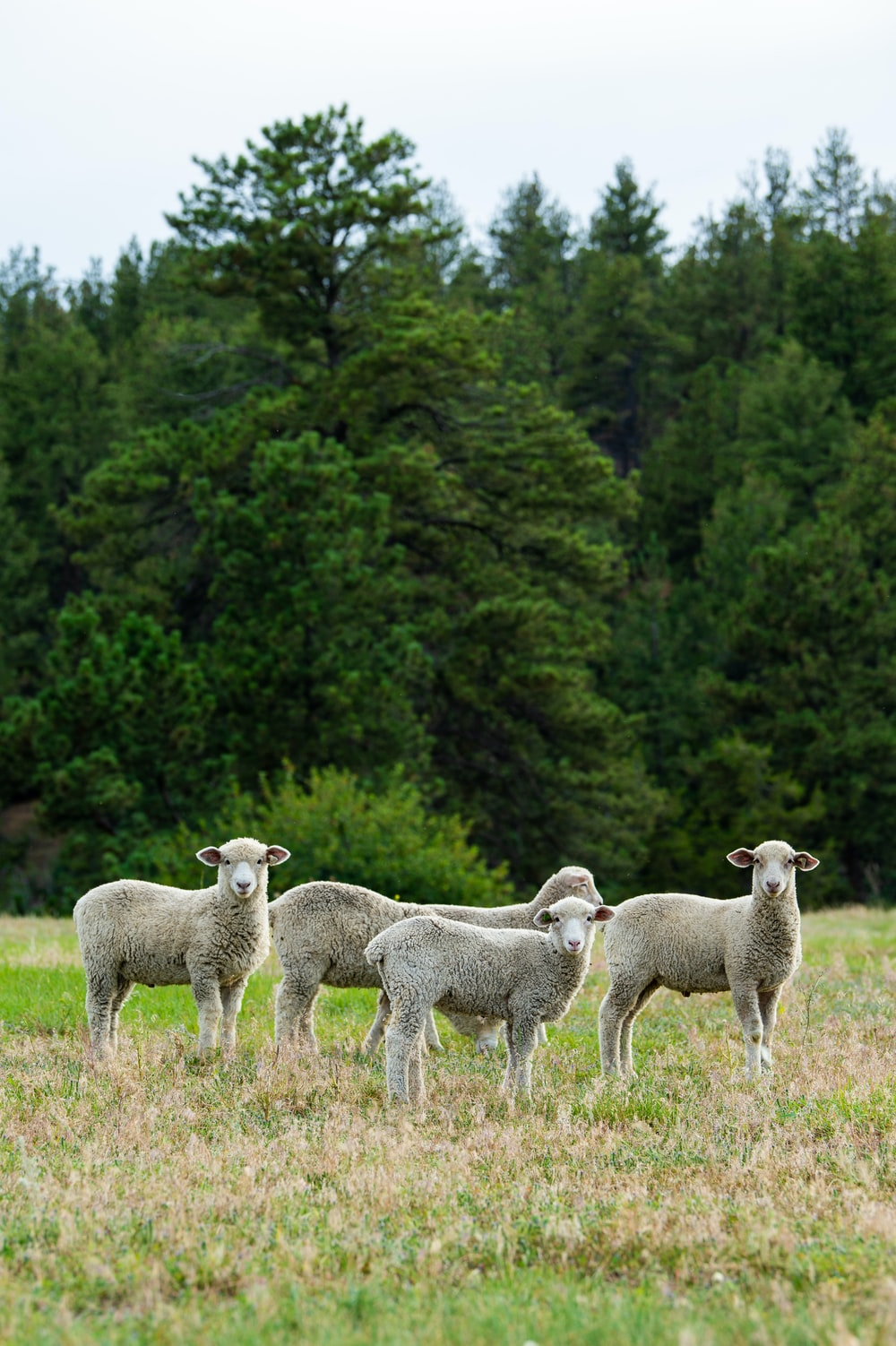 four white sheep on green field surrounded with green trees