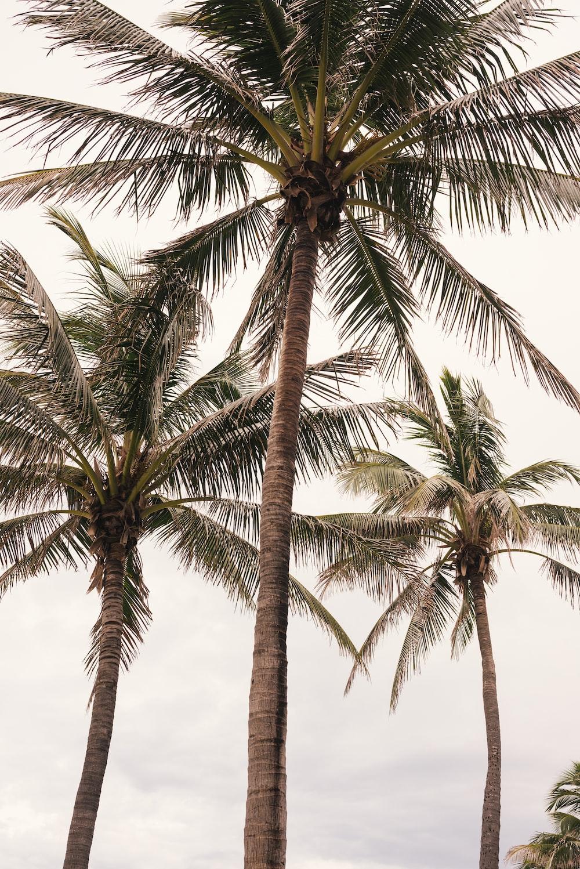 coconut trees photograph