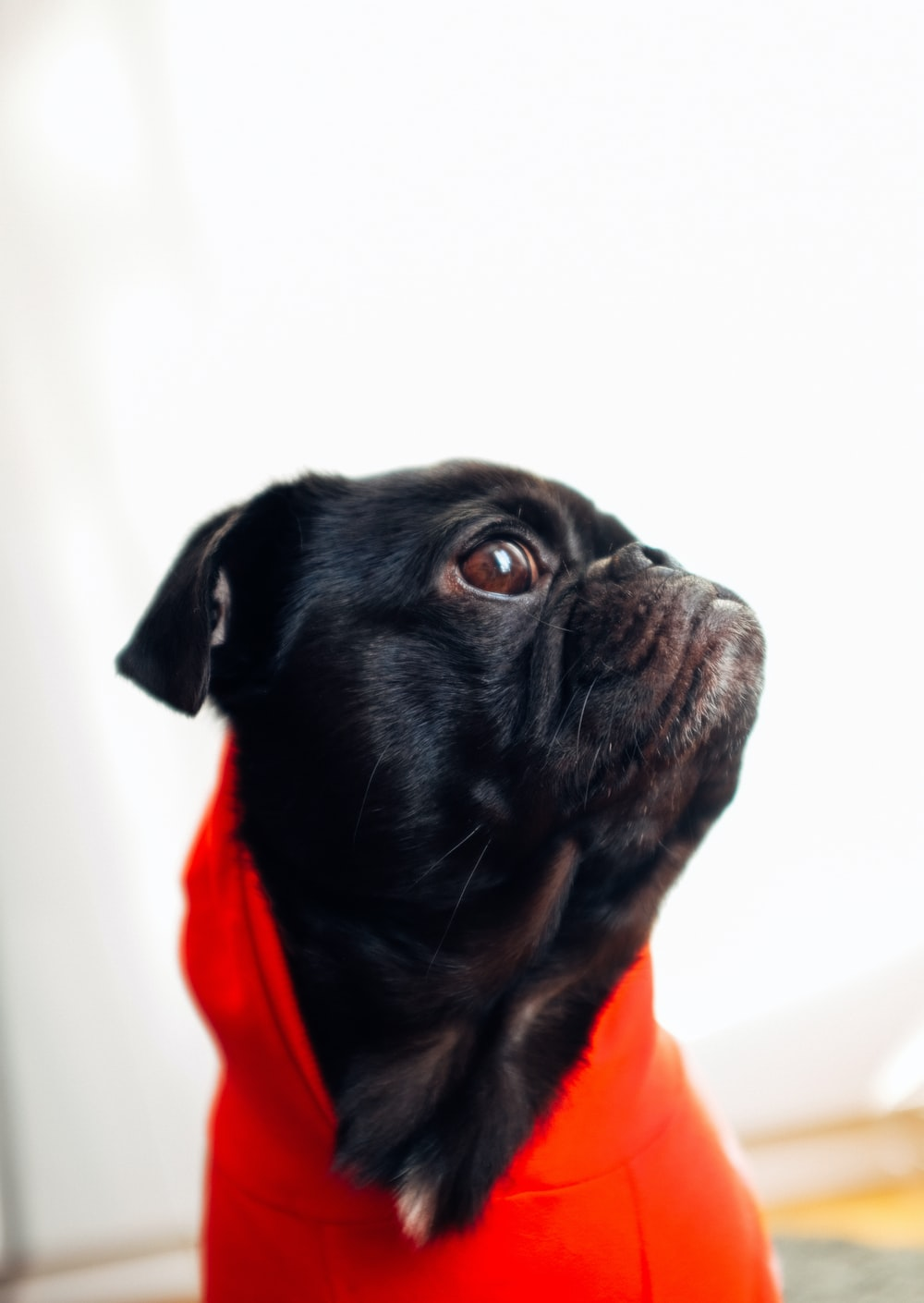 black pug with red dress