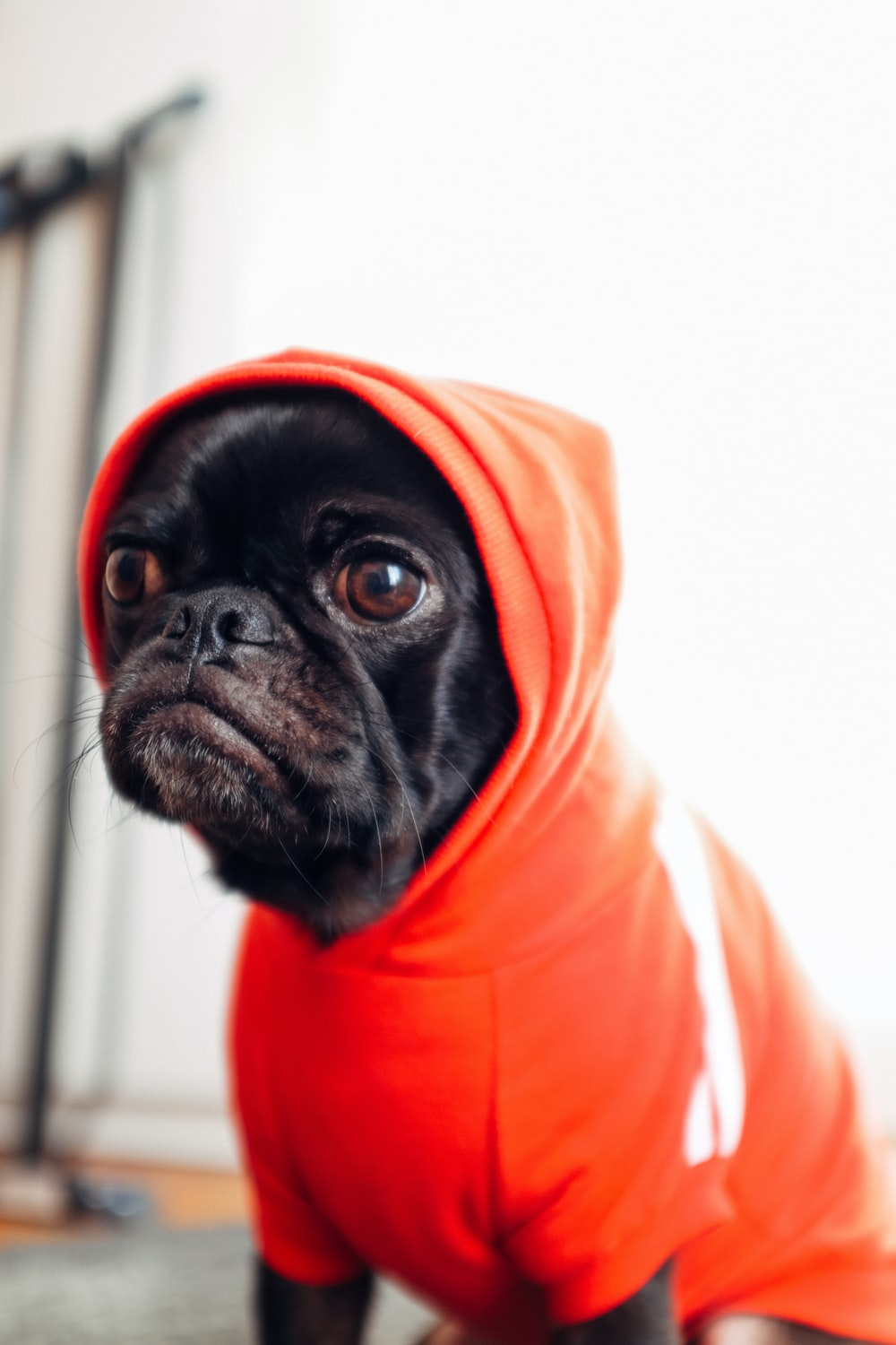 black pug puppy wearing red hooded dress
