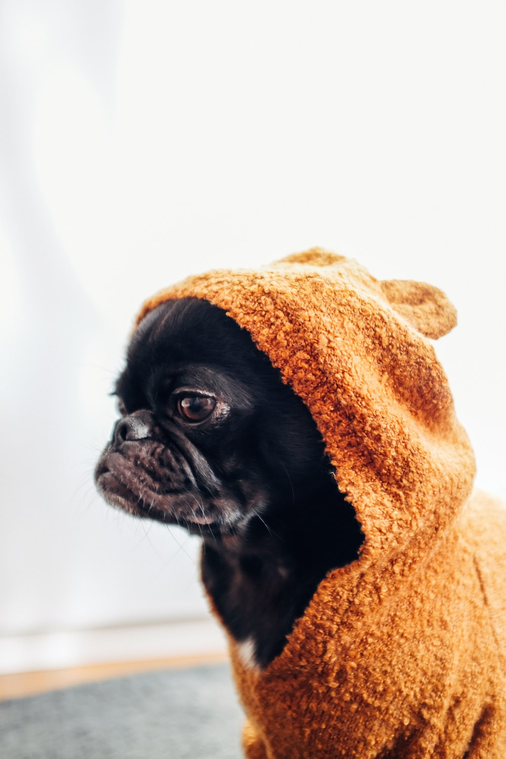 black pug puppy wearing brown hooded dress