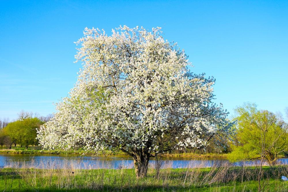 white-petaled trees beside river