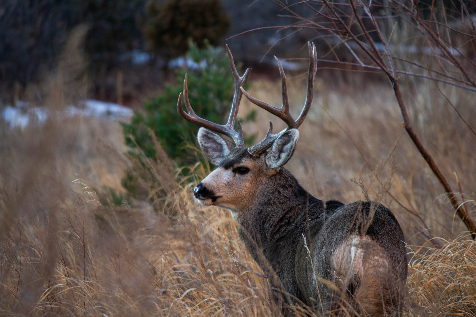 Culling of Bucks Doesn't Lead To Bigger Bucks, Research Says