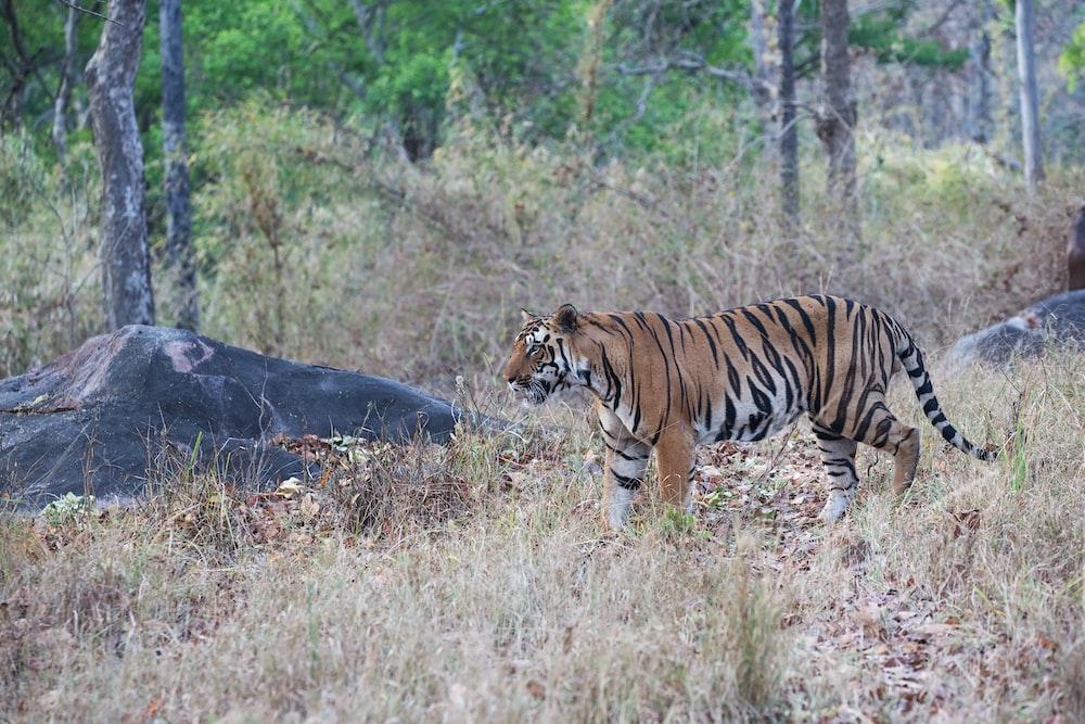 adult tiger on grass field