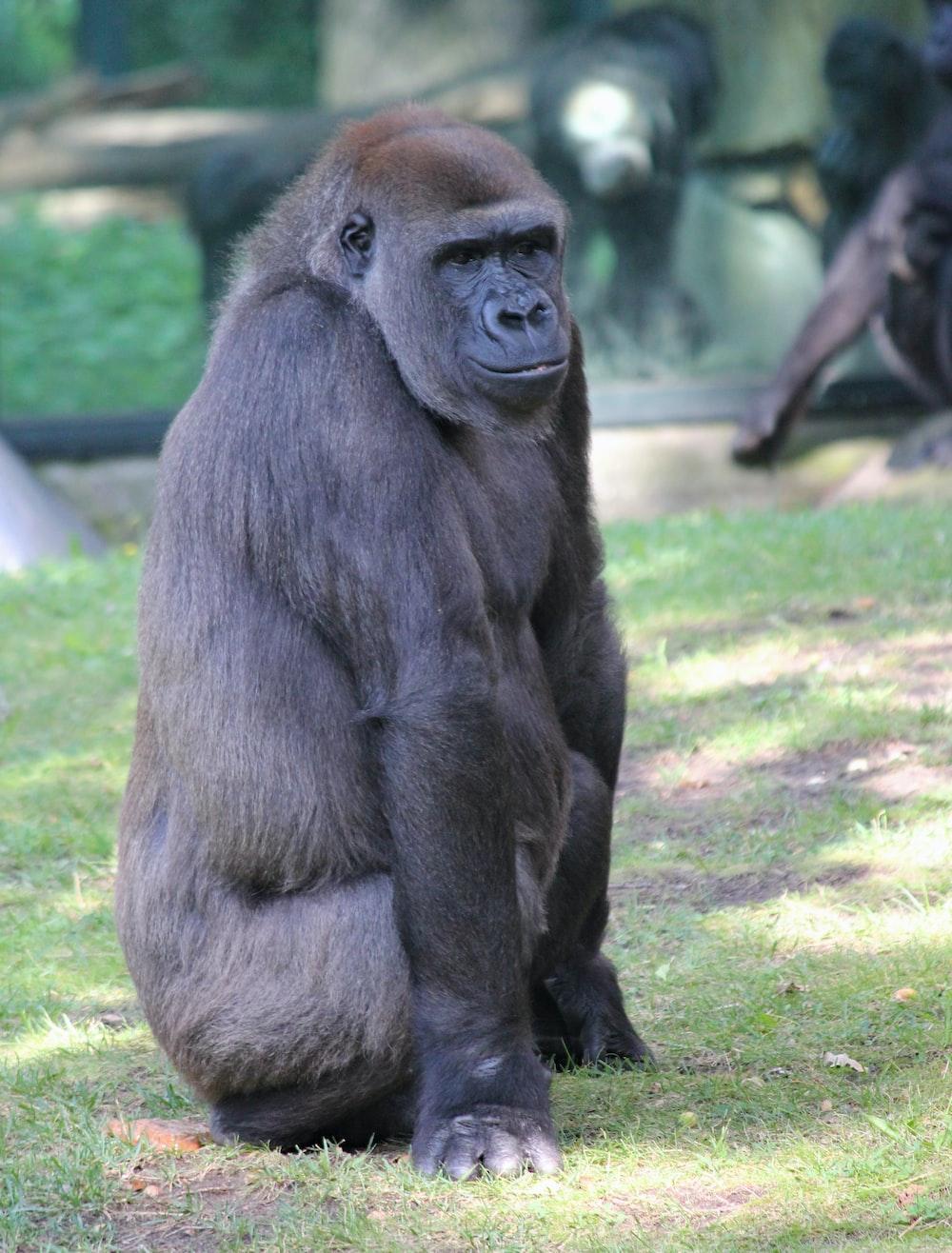 shallow focus photo of black gorilla
