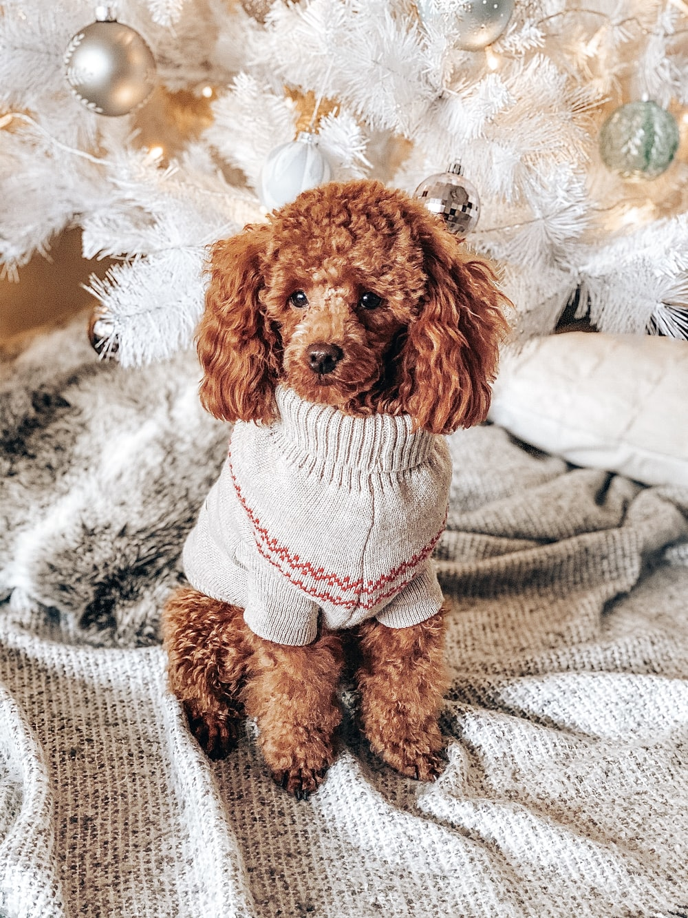 brown toy poodle with white and red costume