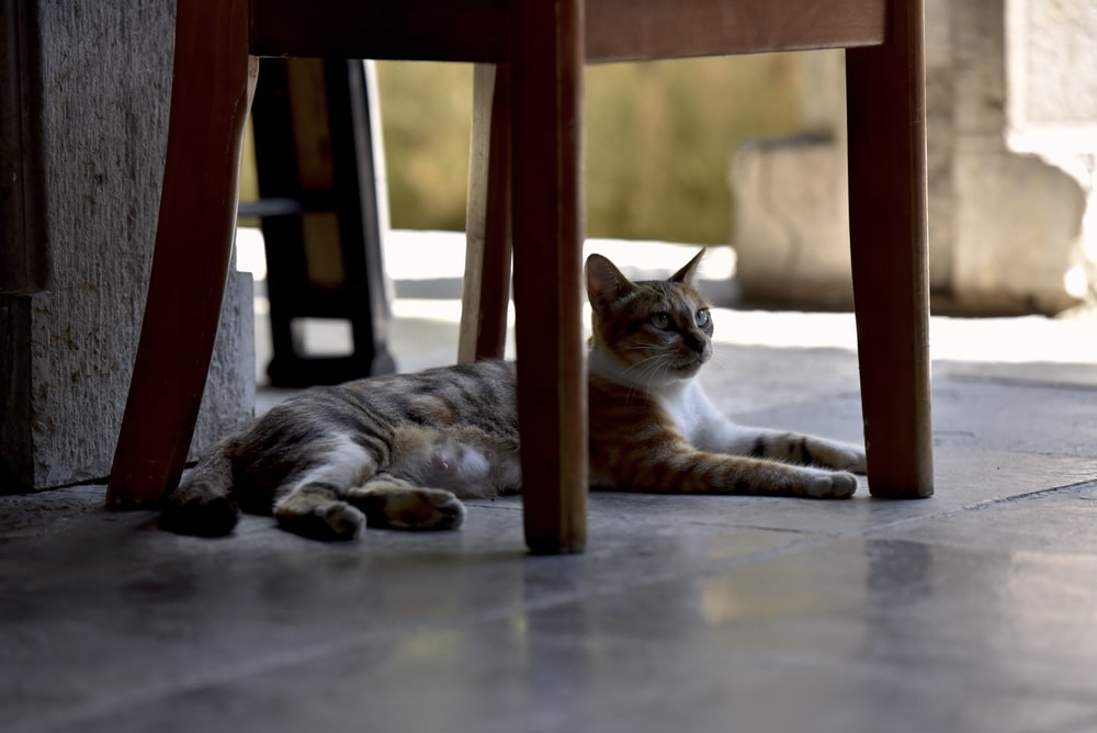 cat lying under chair