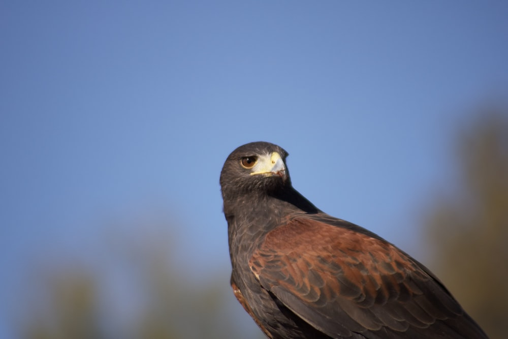gray and brown falcon
