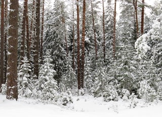 Snowy frosty pine tree forest
