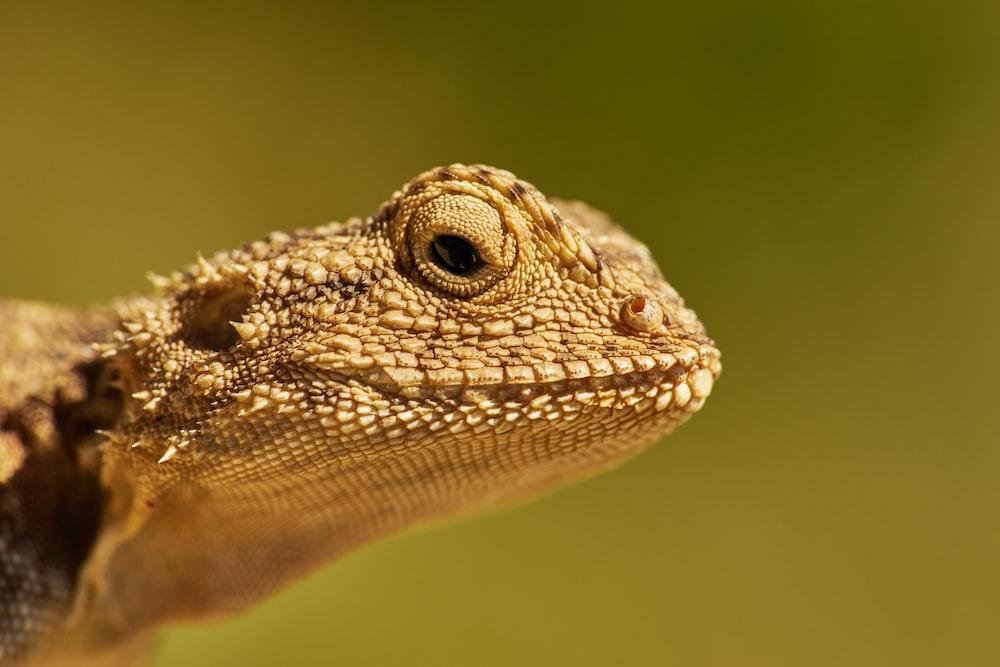 selective-focus photograph of bearded dragon