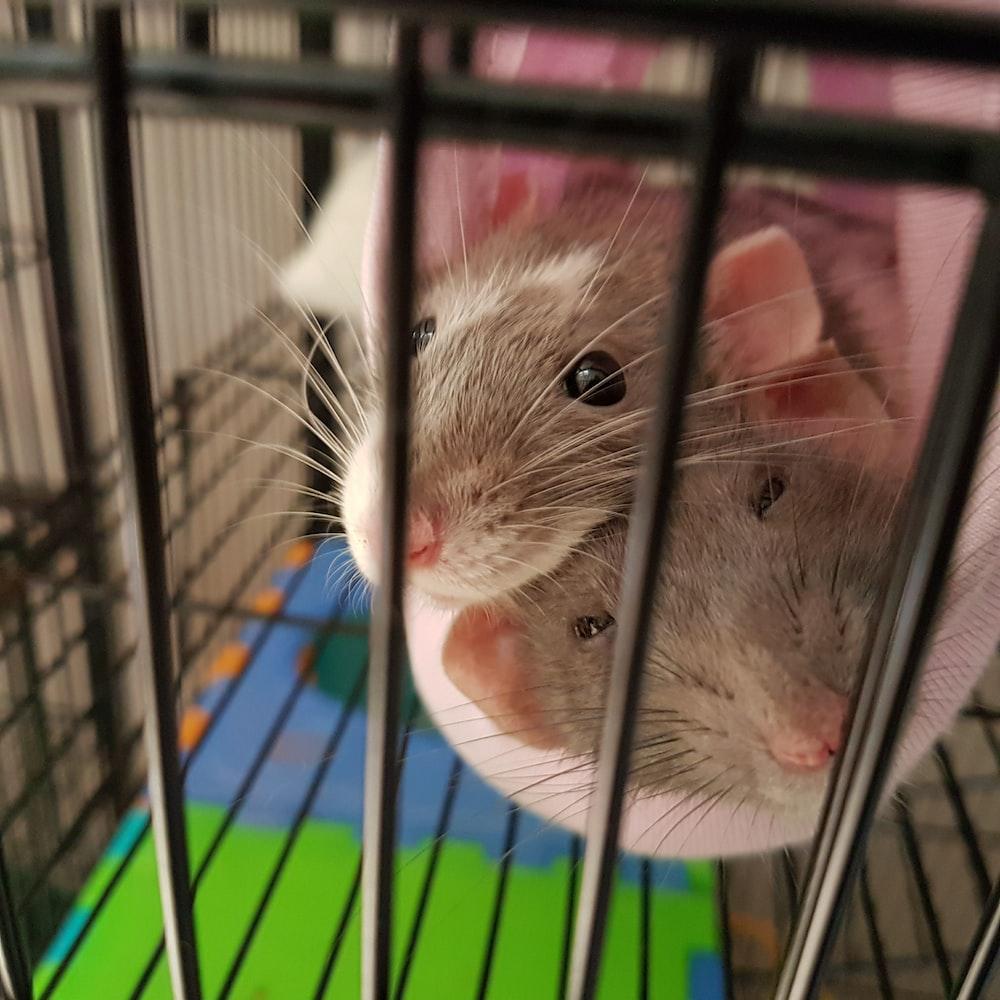 gray mice photo