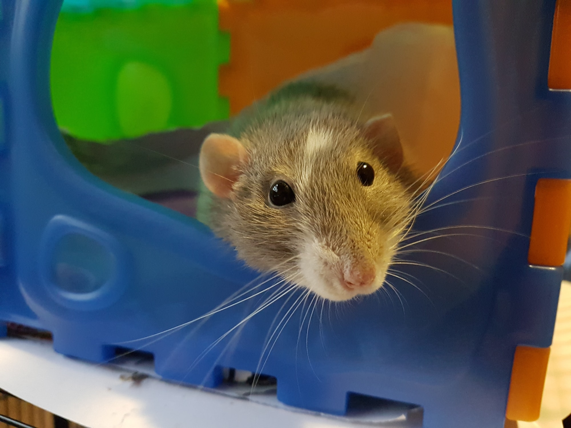 Curious pet rat, relaxing in her cage.