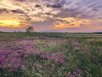 lavender field field teams background