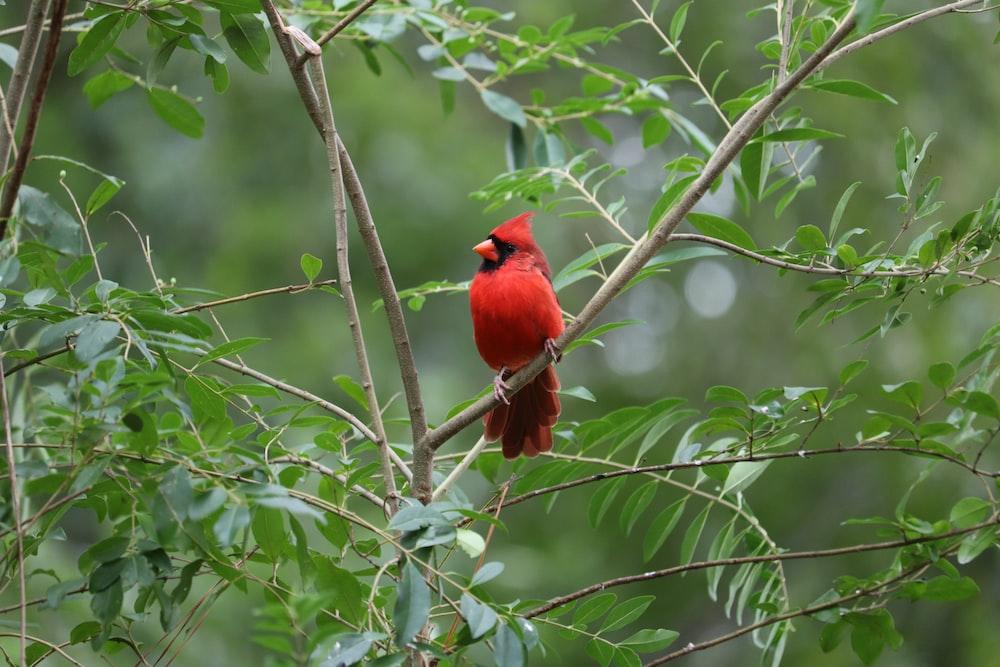 red cardinal on tree