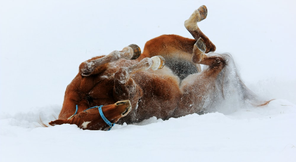 brown horse lying on ground covered with snow