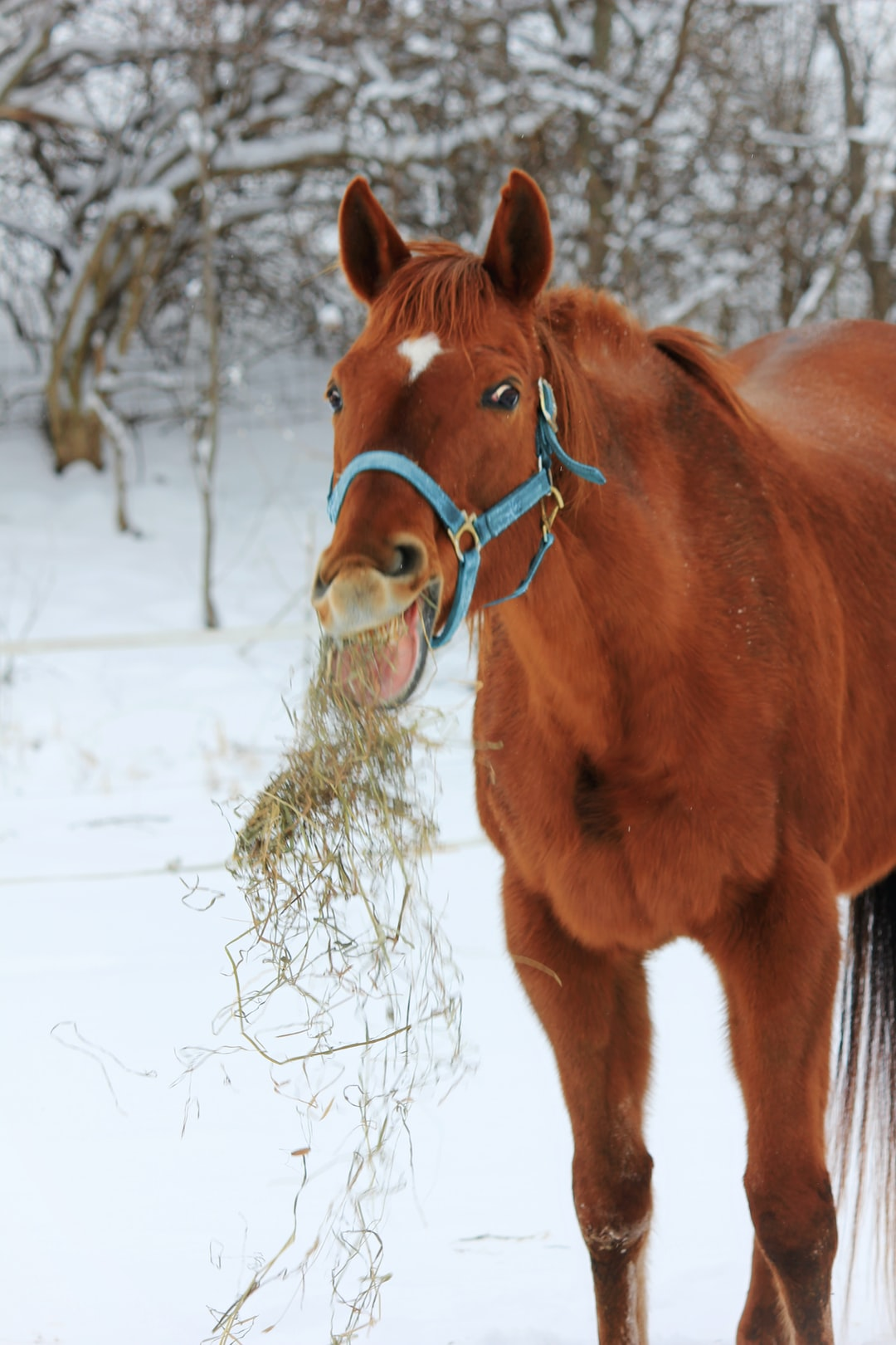 A brown thoroughbred race horse throws hay in the snow during winter while wearing a blue halter.