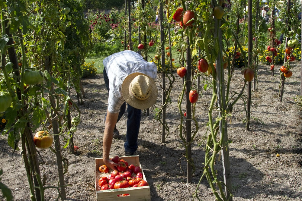 man harvesting fruits