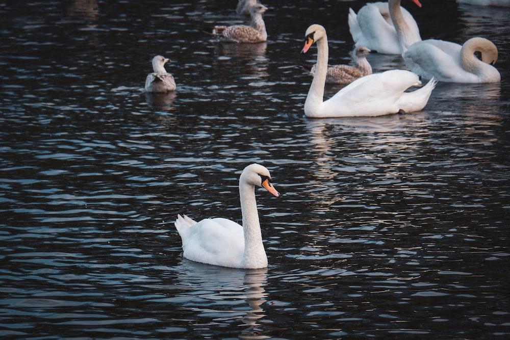 white ducks on calm body of water