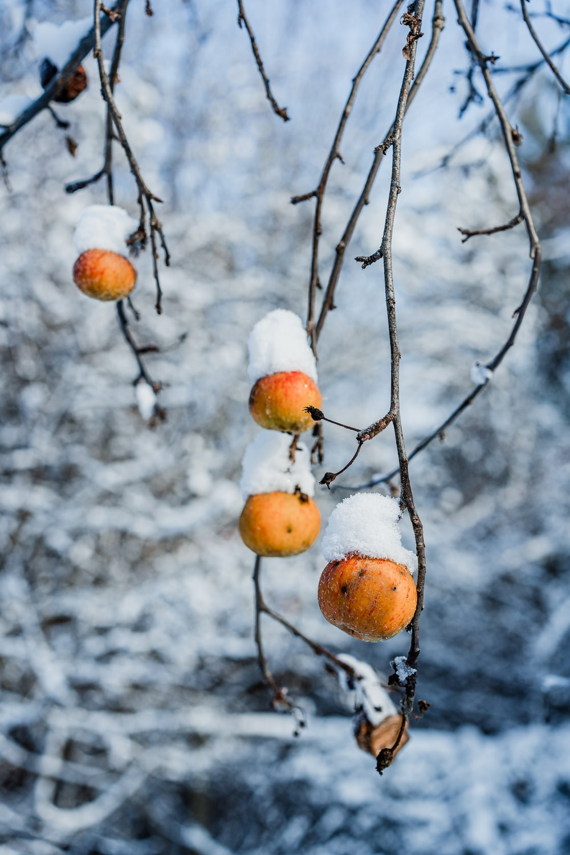 orange plant fruit