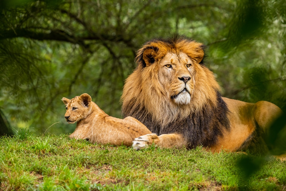 brown lion on green grass field