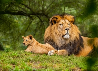 brown lion on green grass field