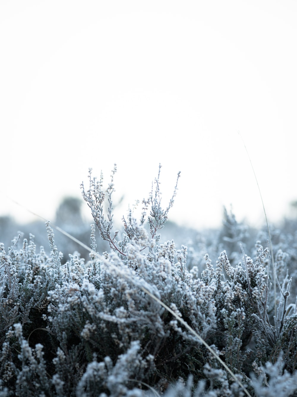 frosty bush plant scenery