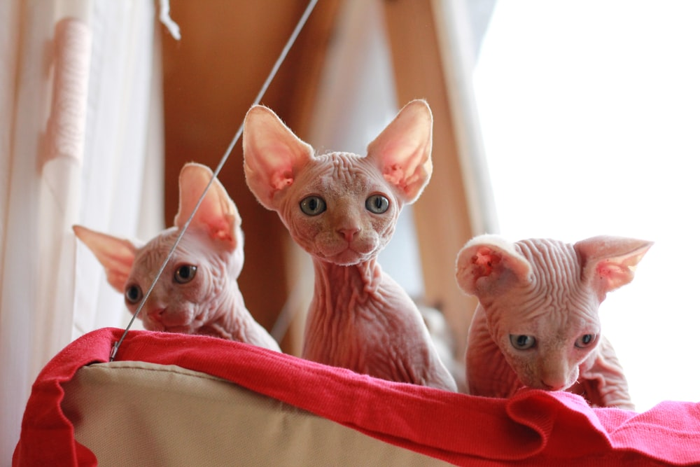 three beige Sphinx cats