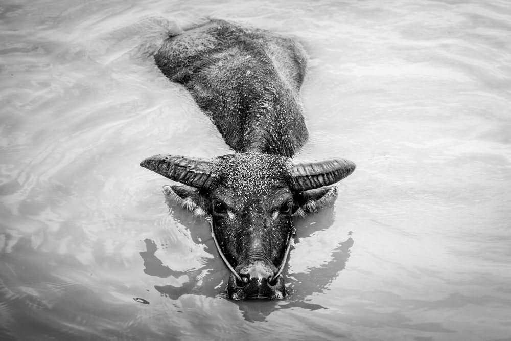 grayscale photo of water buffalo