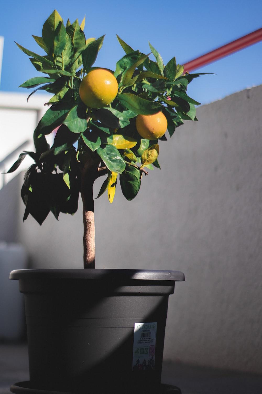 photo of lemon trees