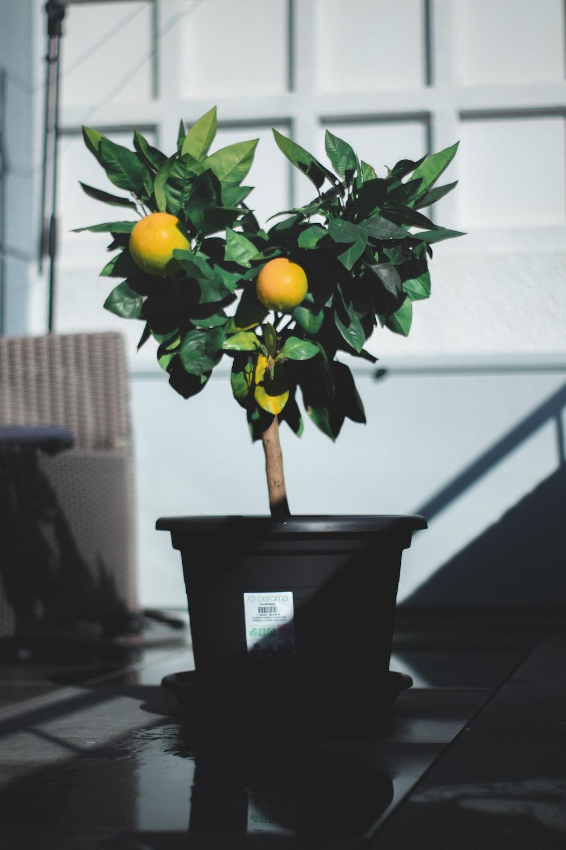 photo of lemon on gray plastic pot