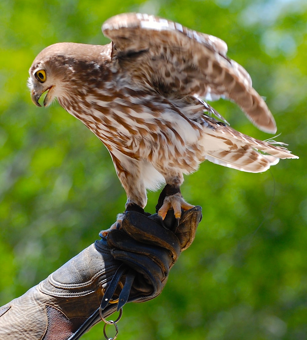 brown and white falcon