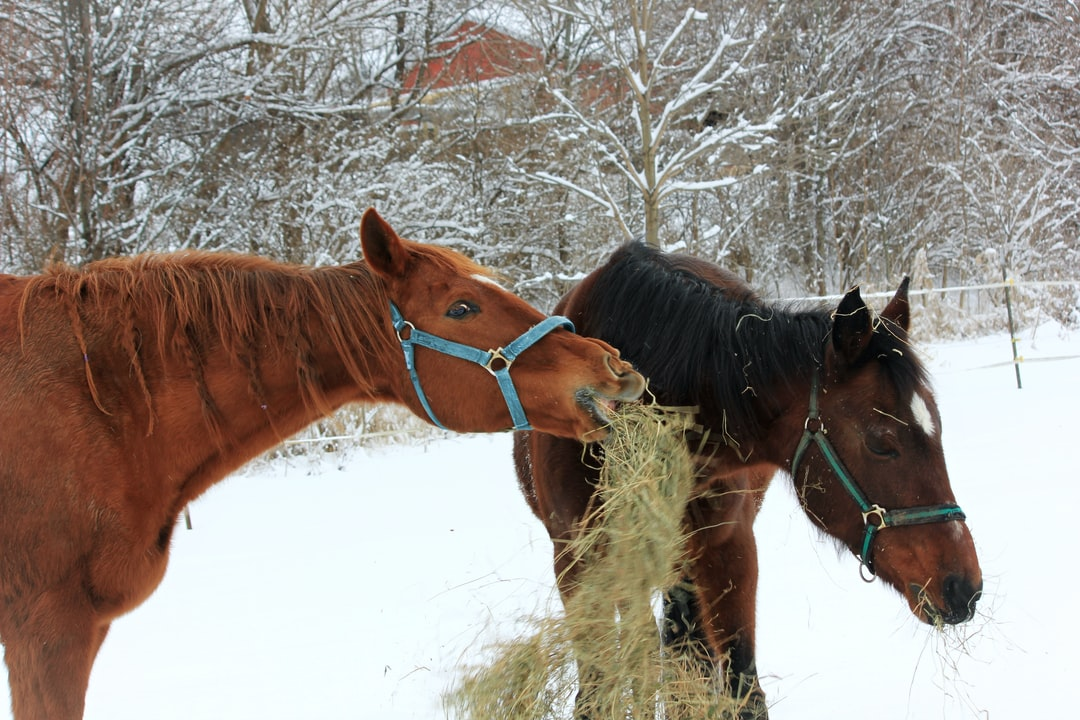 A brown thoroughbred horse throws hay at a brown quarter horse in the winter.