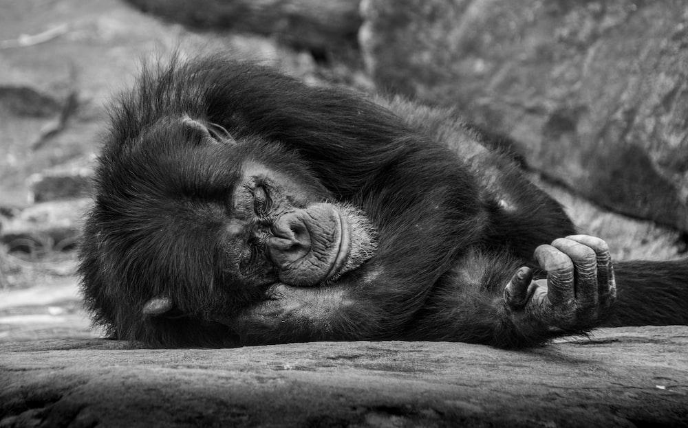 monkey lying on surface