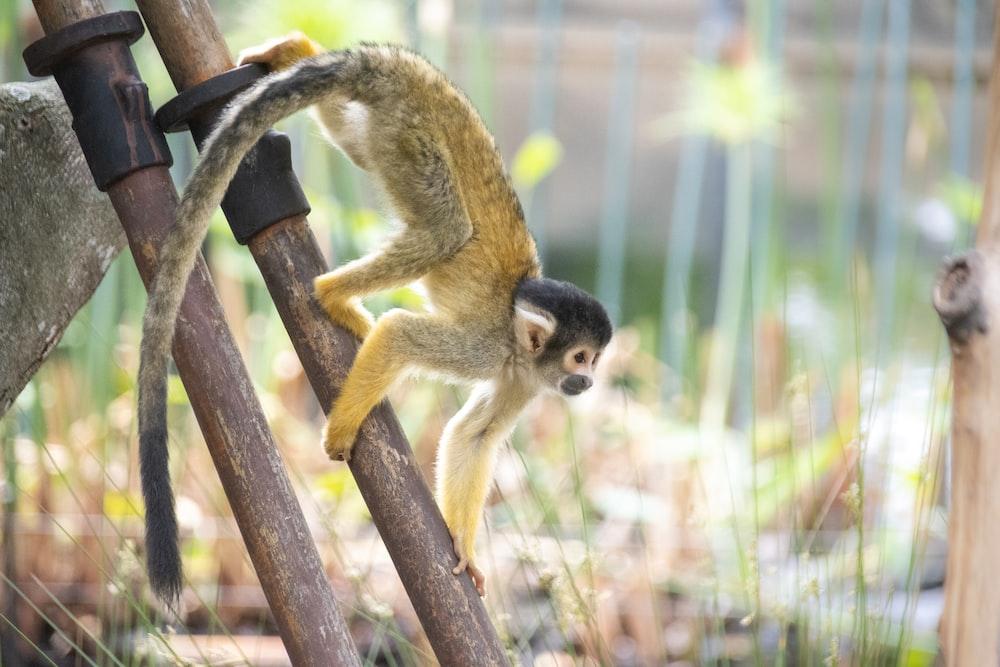 monkey crawling on brown pipe
