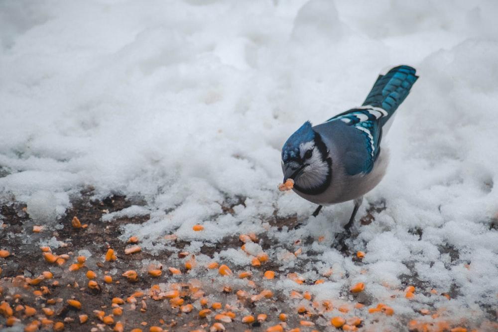 Blue jay bird feeding orange seeds