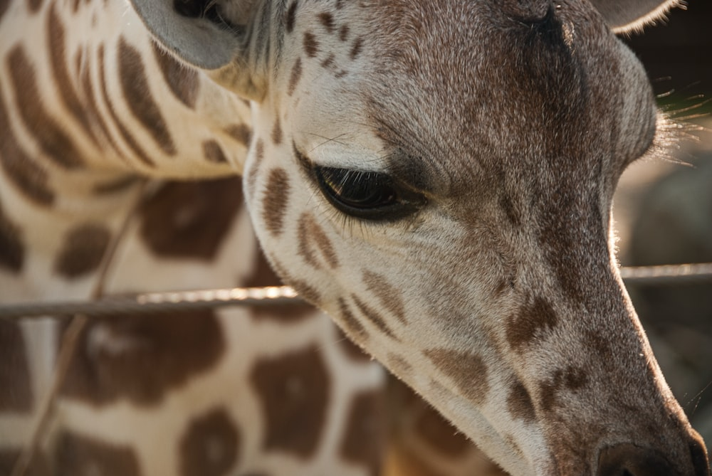 brown giraffe leaning on fence