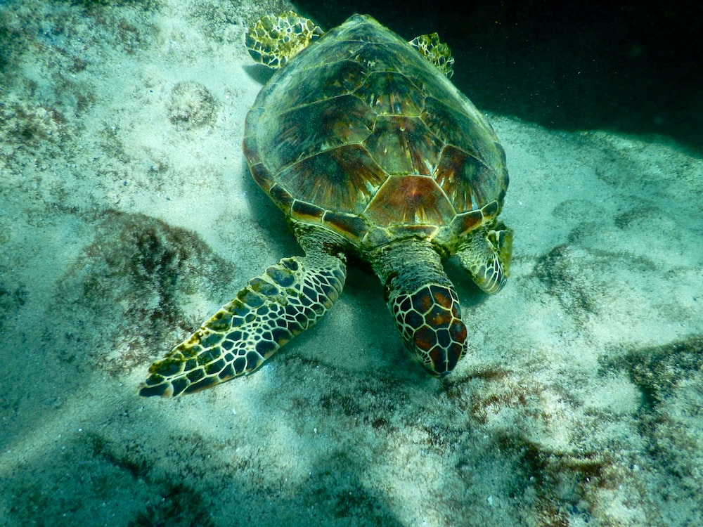 brown and green turtle