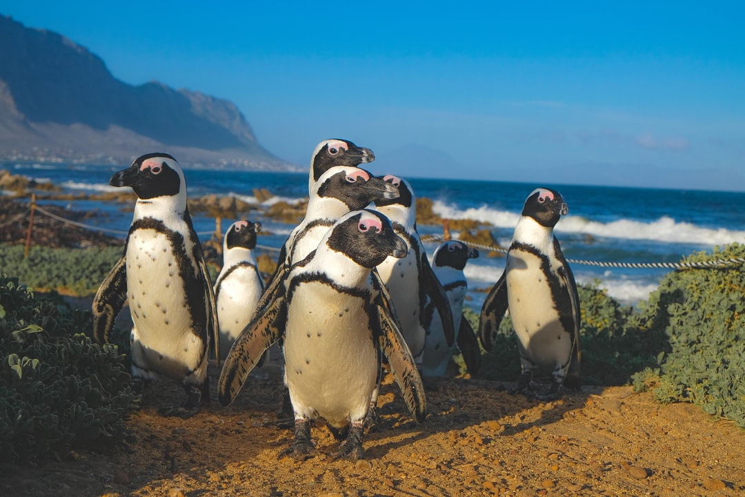 Betty's Bay penguins, South Africa
