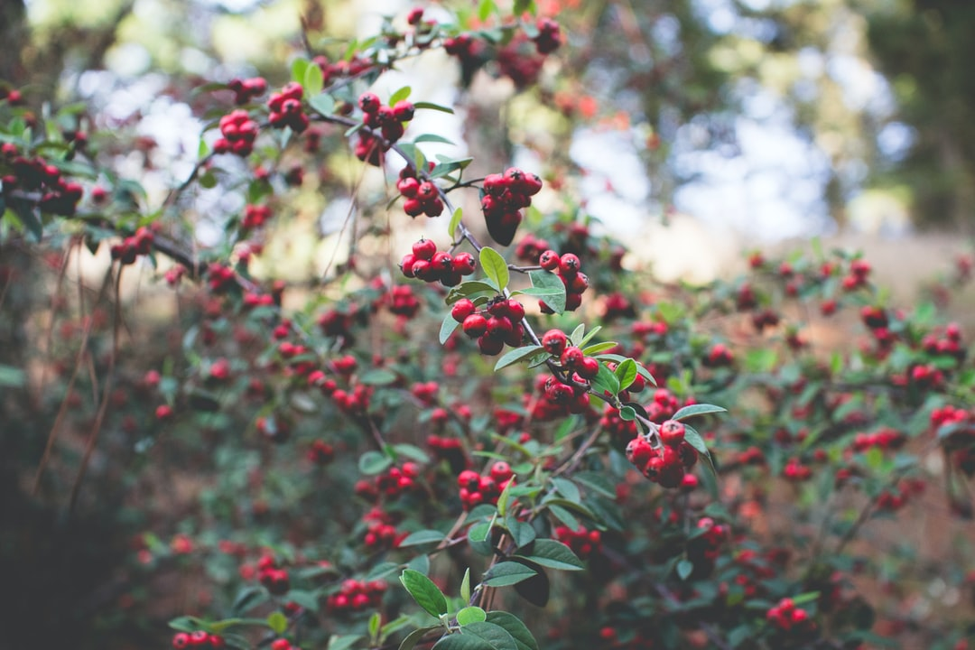ripe red berries in the forest