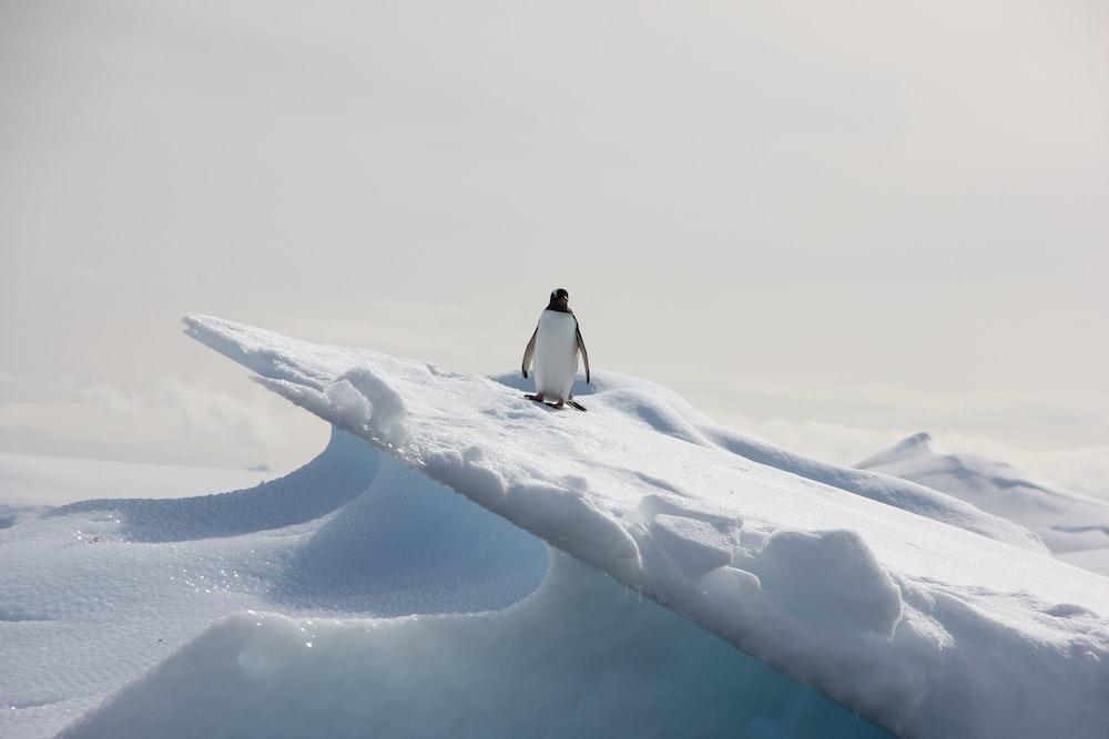 penguin standing on ice field