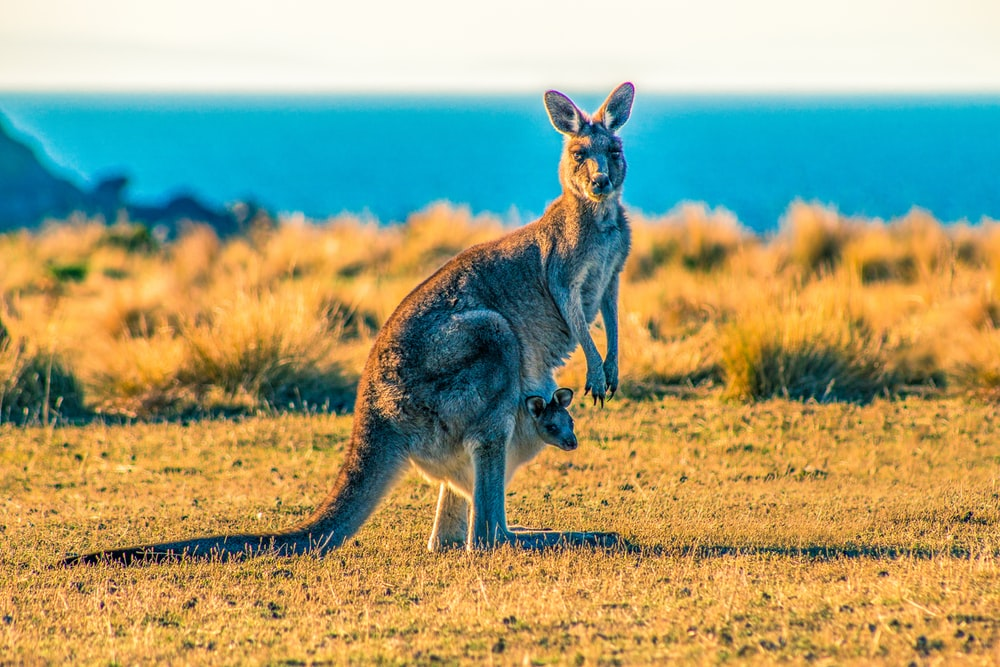 kangaroo with joey on grass field during day