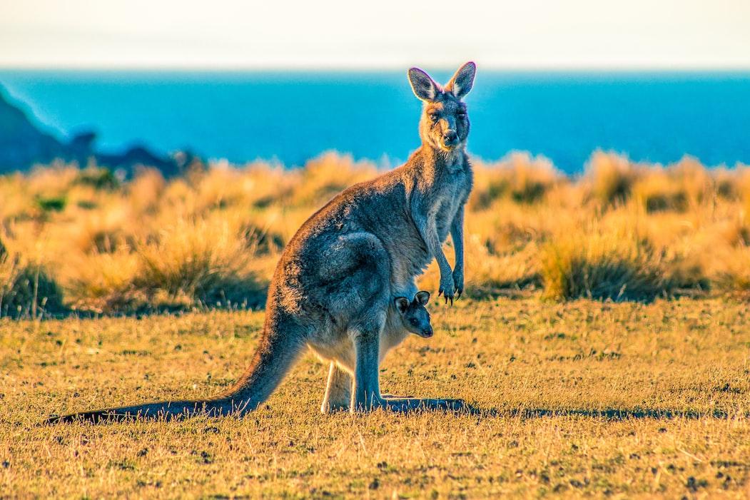 Kangaroos have 3 vaginas.