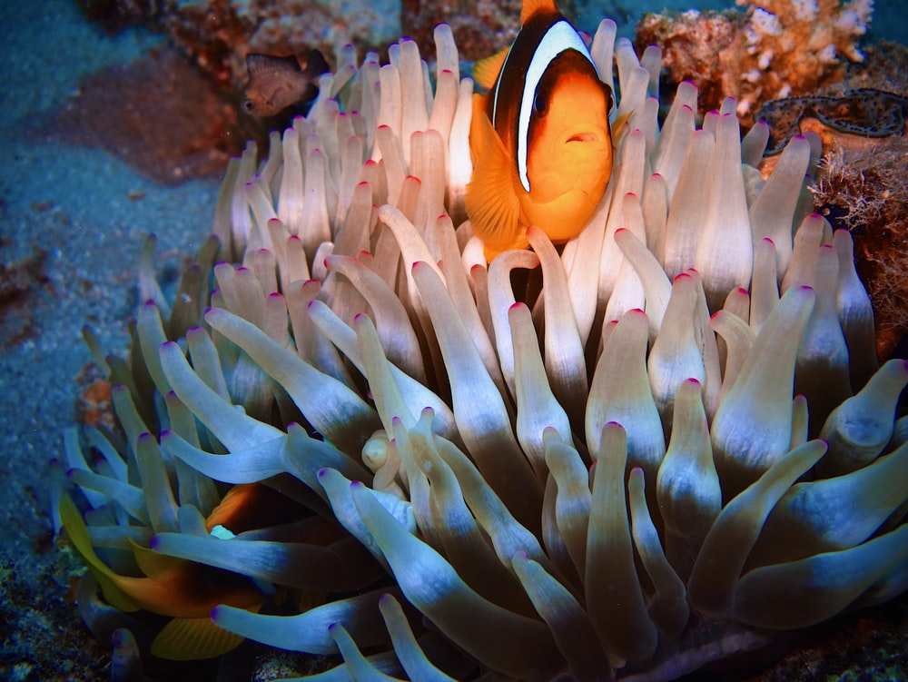 shallow focus photo of clown fish