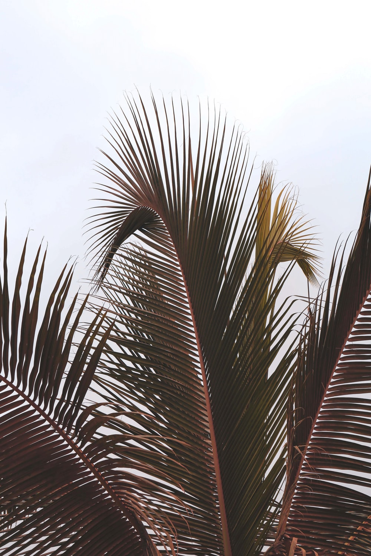 coconut leaf under white skies