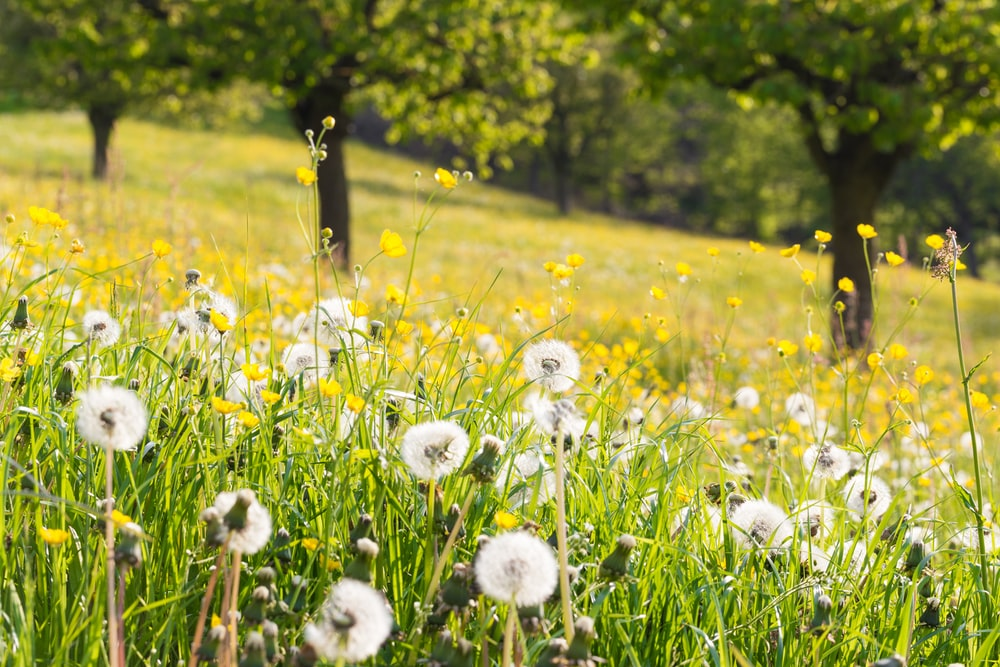 dandelion flower field at daytime