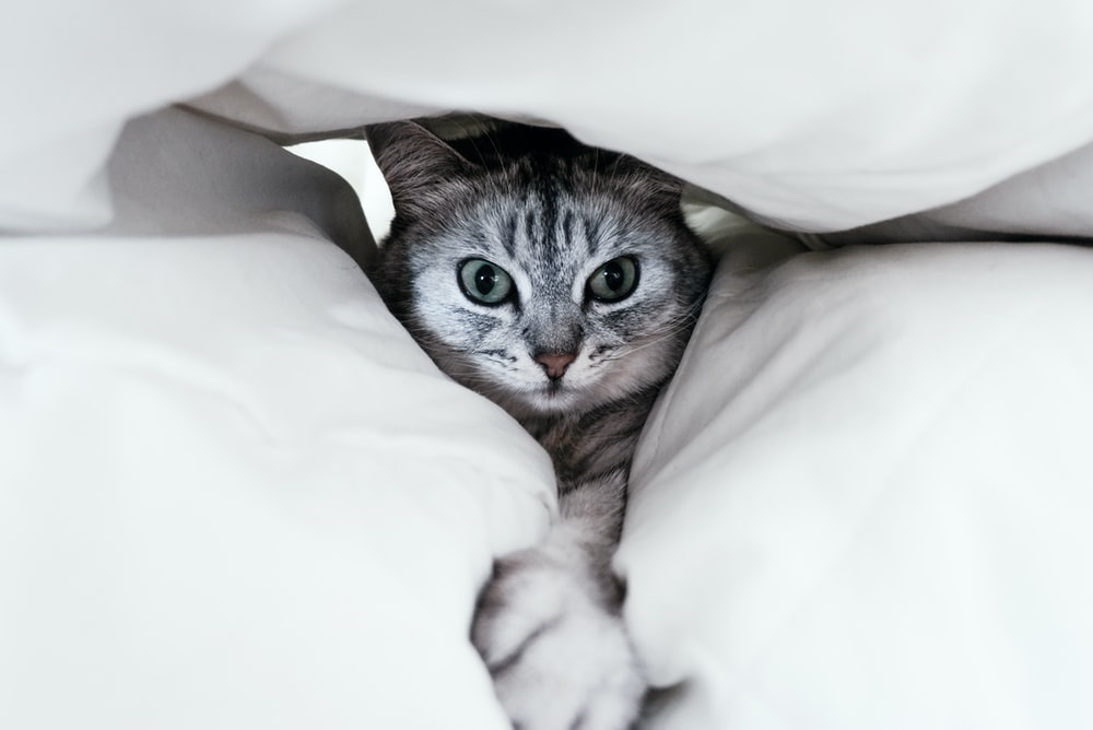gray cat under white pillow