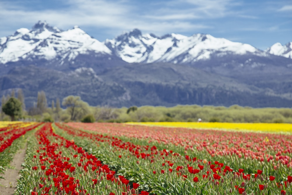 landscape photography of white and black mountain range behind bed of red and pink-petaled flowers