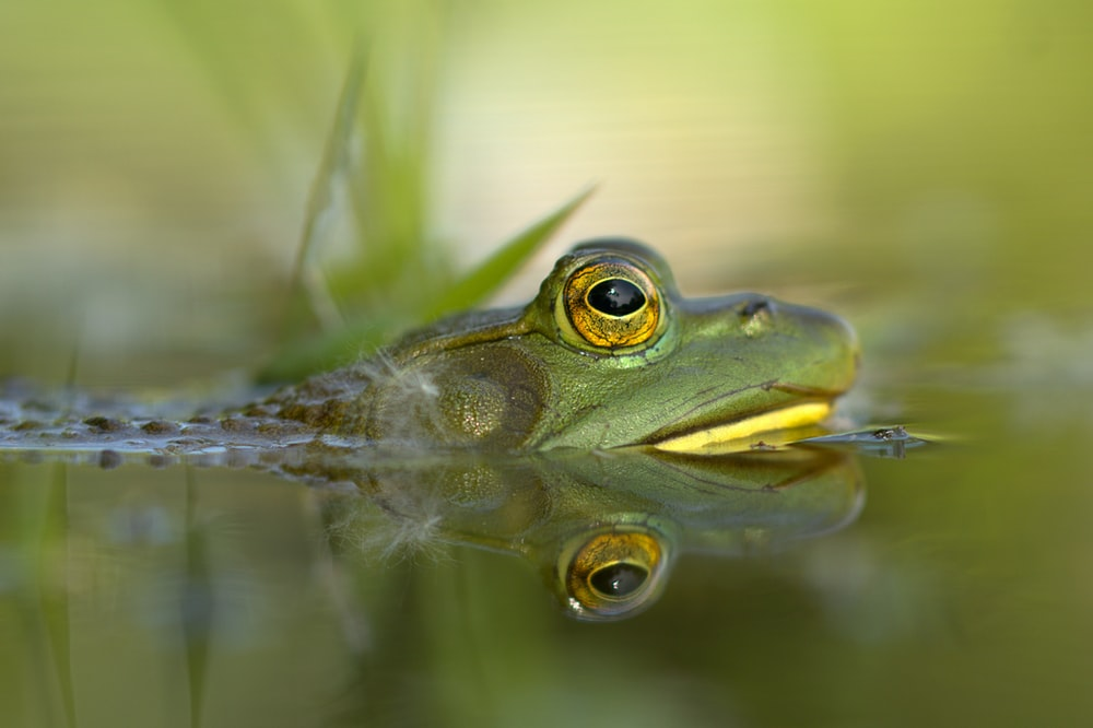 green frog on body of water
