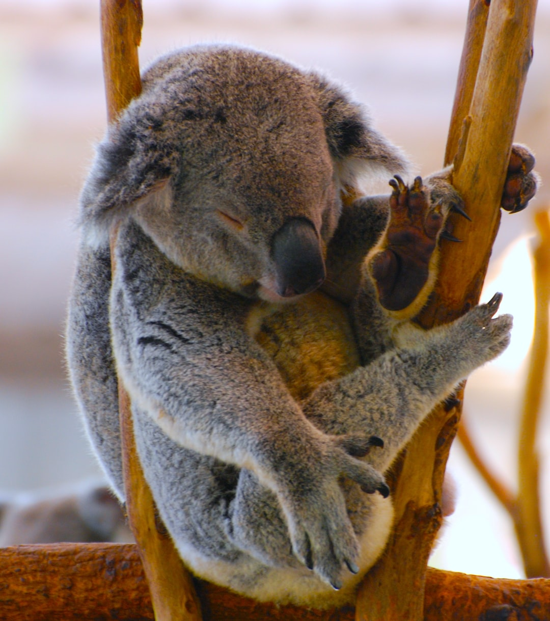 Caught this beautiful sleeping Koala at Lone Pine Koala Sanctuary in Brisbane Australia.  Photo by Kerin Gedge Please let me know if you use my pictures so I can share your links across my social networks!