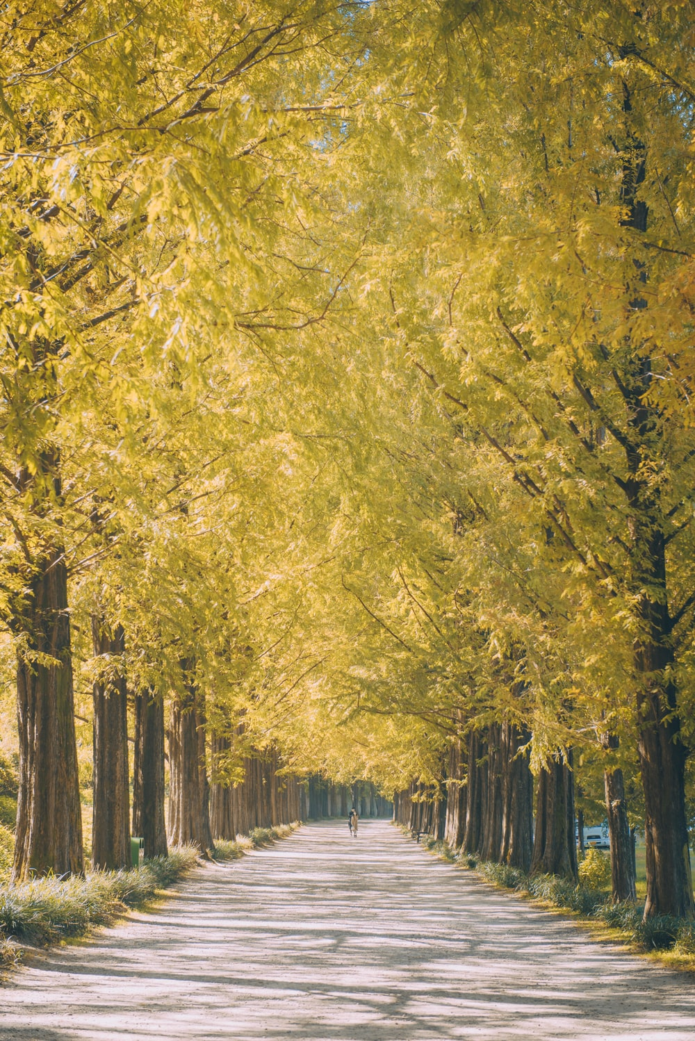 pathway in middle of yellow petaled trees